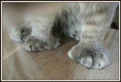 Maine Coon, Poly, polydactyl. Grazy Babs Jessey PP