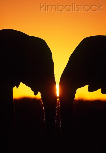 AFW 04 MH0078 01 - Silhouette Of Two African Elephants Face To Face At Sunset - Kimballstock