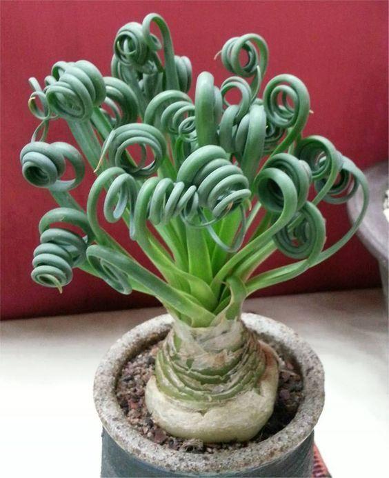 Albuca spiralis en primavera aparecen las flores for Jardineria y plantas