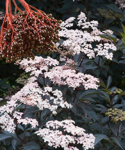 Bodza 'Black Beauty', Sambucus nigra 'Black Beauty'