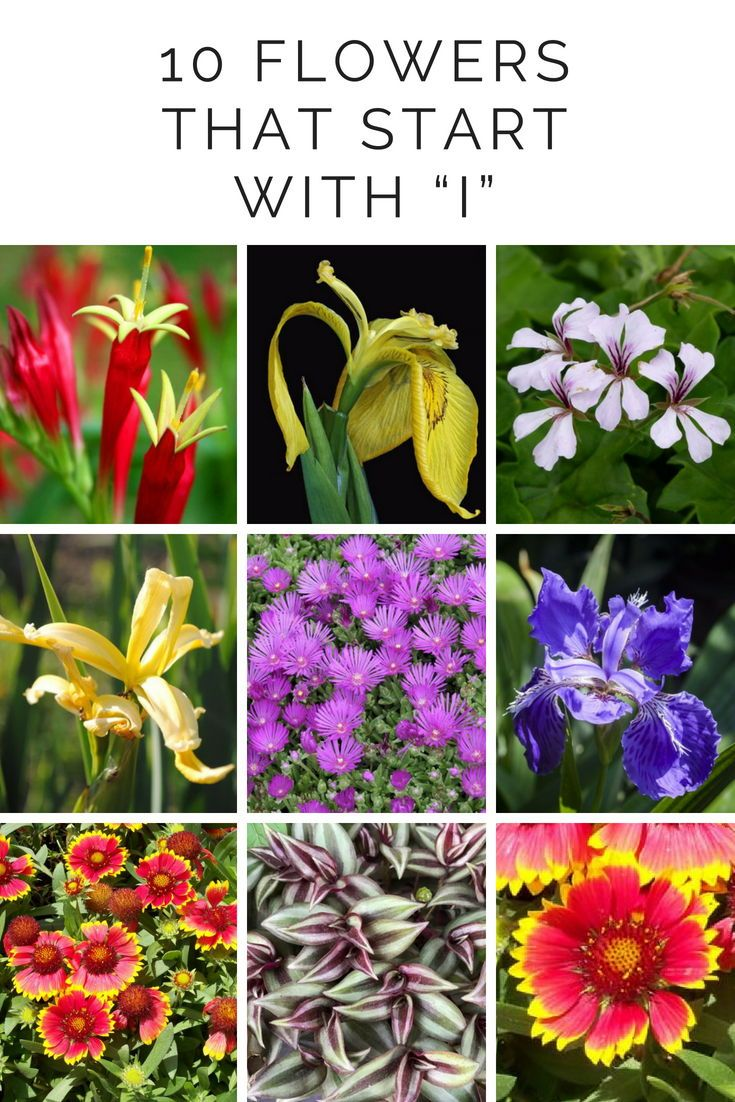 10 Flowers That Start With I Flower Names Plants Beautiful