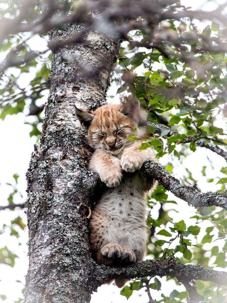 Jeune lynx                                                                                                                                                      More