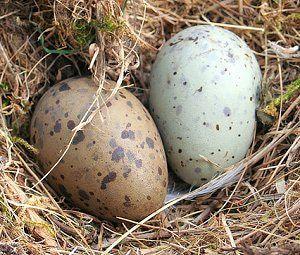 Gallery of Wild Bird Nests and Eggs: Herring Gull Nest
