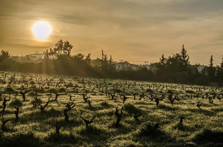 Sunrise in the vineyard by Odysseas Megalooikonomou - Photo 142347967 - 500px