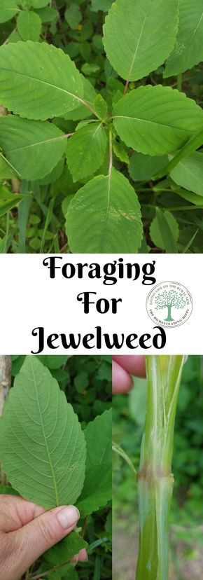 """If you run into poison ivy or stinging nettle while foraging, you will want to get to know jewelweed, nature's """"cure"""" for poison ivy rashes. The Homesteading HIppy via @homesteadhippy"""