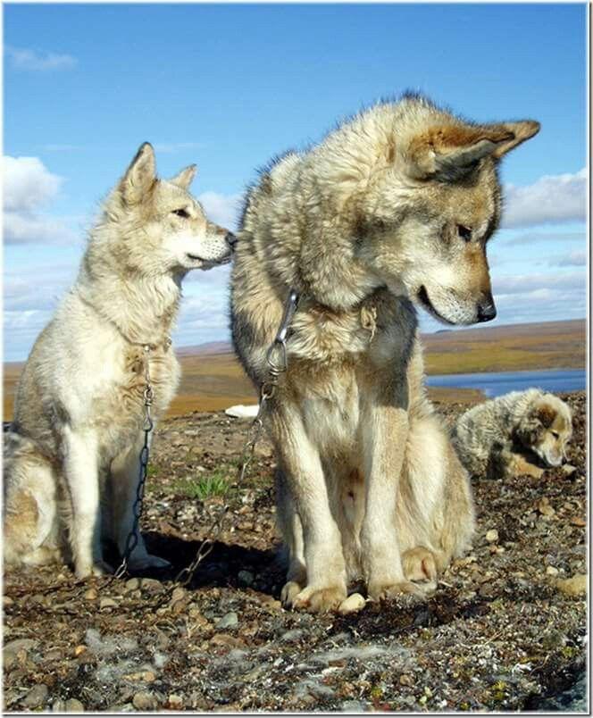Siberian dogs