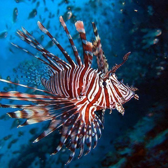 Te presentamos al pez león un forastero que invadió nuestras aguas y ya está más que instalado.  Este llamativo pez aparece siempre en documentales de vida submarina del océano Índico o el Pacífico porque es justamente de allí de dónde es oriundo. Sin embargo desde hace algunos años no muchos está presente en las aguas del Caribe incluyendo a Venezuela.  Su vistosidad y característica exhueberancia lo convirtieron en uno de los más buscados por los acuariófilos de todo el mundo. Tal vez a…
