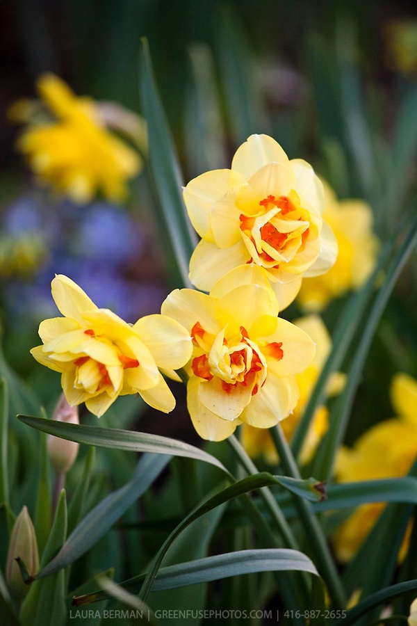 types narcissus flowers