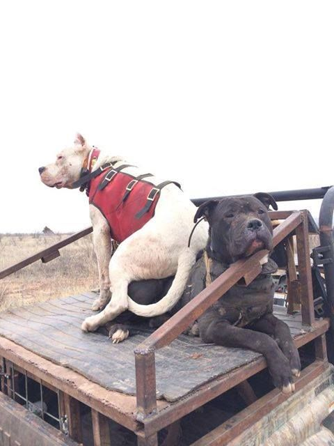 43 best images about hog hunting with dogs on Pinterest ...