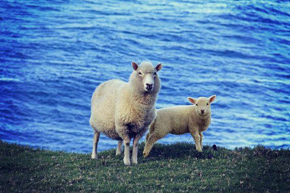New Zealand Sheeps. Digital download. Digital by ArtUnsung on Etsy