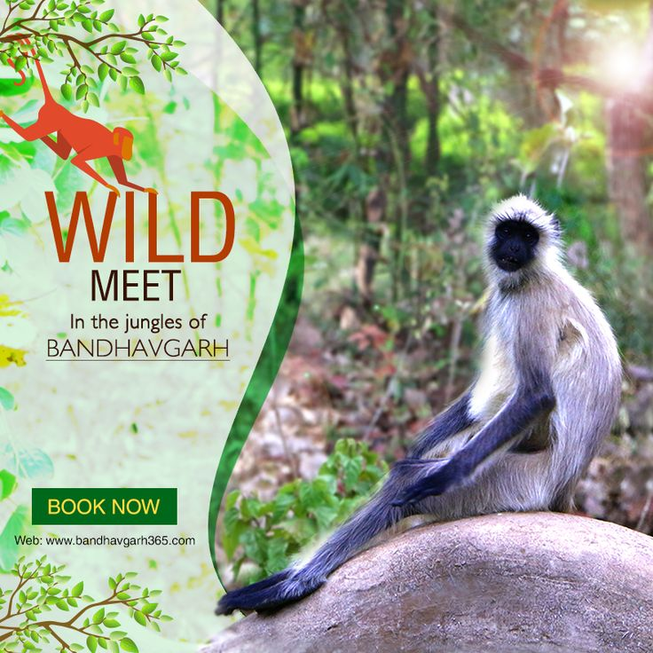 Come and become a part of the unique encounter with wilds with us at Bandhavgarh.  Book: http://www.bandhavgarh365.com/ #JungleSafari #WildlifeSafari #BandhavgarhJungleSafari #BandhavgarhNationalPark