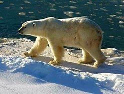 Isbjørn – Wikipedia