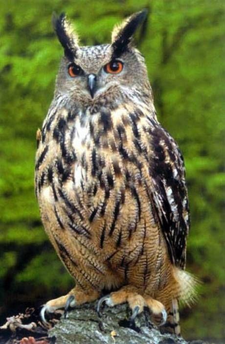 Largest Bird Of Prey   Largest owls in the world threaten British birds - Nature ...