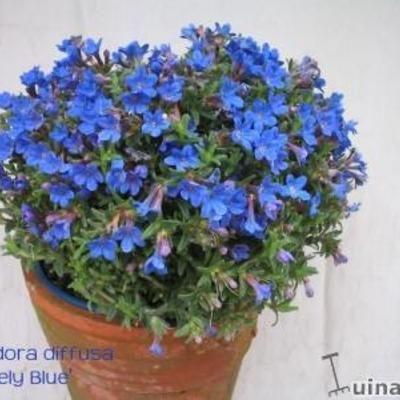 Lithodora diffusa: Parelzaad: deze doet het heel goed in ons perk.