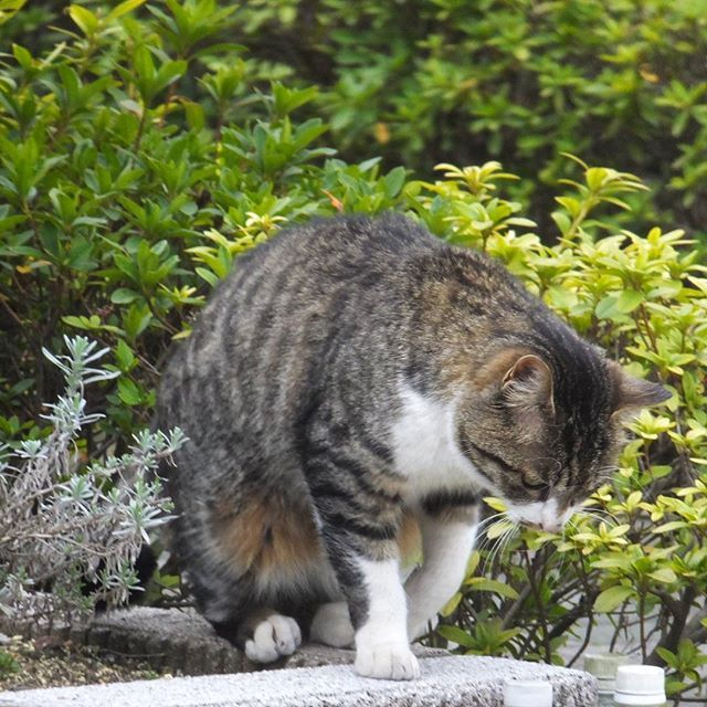 Our Koban when he was still a feral. 野良の頃のうちのコバン君。 #猫 #ネコ #cats #feralcat #japanmogusaurus2016/02/17 15:00:47