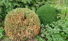 Buchsbaum-Triebsterben vorbeugen - Erst seit einigen Jahren breitet sich in Deutschland das Buchsbaum-Triebsterben aus. Inzwischen gibt es Möglichkeiten, den Pilz-Befall einzudämmen.