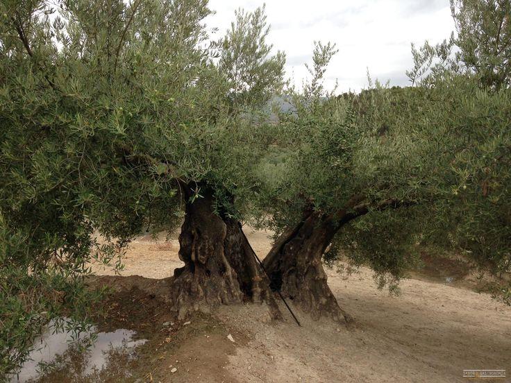 M s de 25 ideas incre bles sobre olivo arbol en pinterest for America todo un inmenso jardin