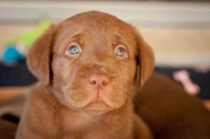 Chocolate Labrador Puppies For Sales - Dogs and puppies for adoption - Gumtree Cape Town / Western Cape Free Classifieds