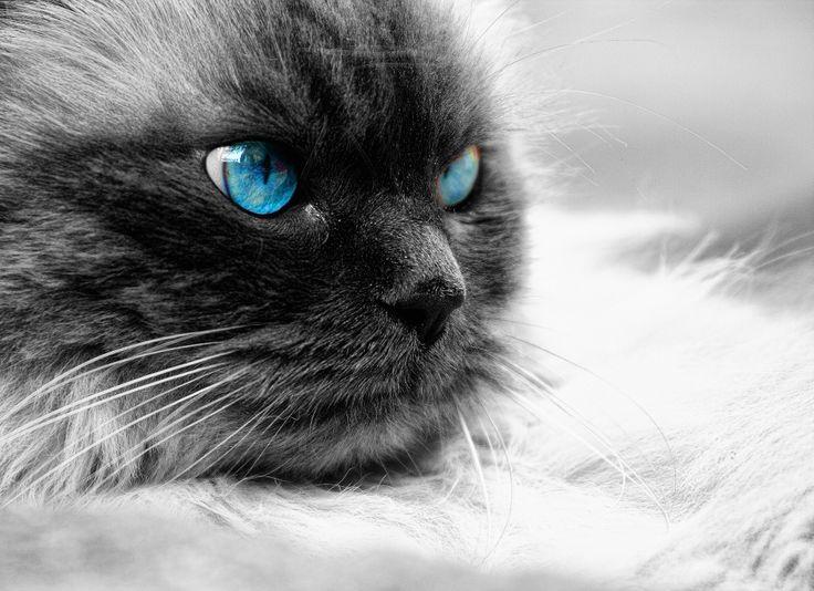 Occhi di gatto - F. Venturi