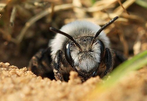 Ashy Mining Bee (Andrena cineraria)