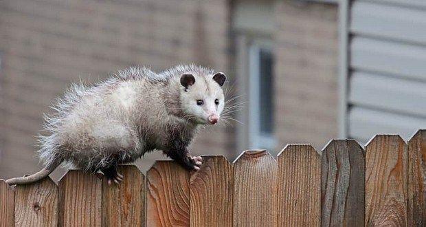 50 Random Facts List 129 Opossum Get Rid Of Ticks Animals That Hibernate