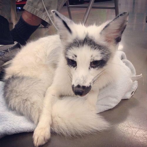 Domesticated silver fox   too cute