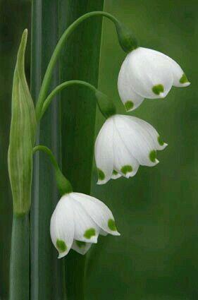 White Snowdrops - Convallaria majalis