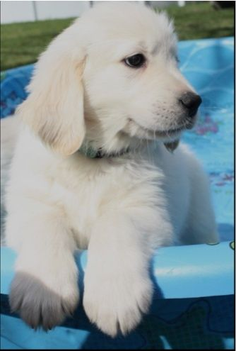 White Golden Retriever Puppy.