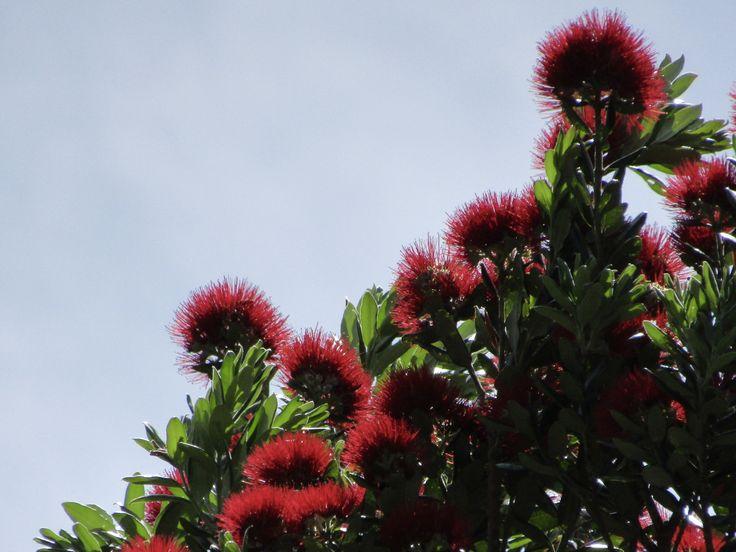 Pohutukawa (New Zealand Xmas Tree)