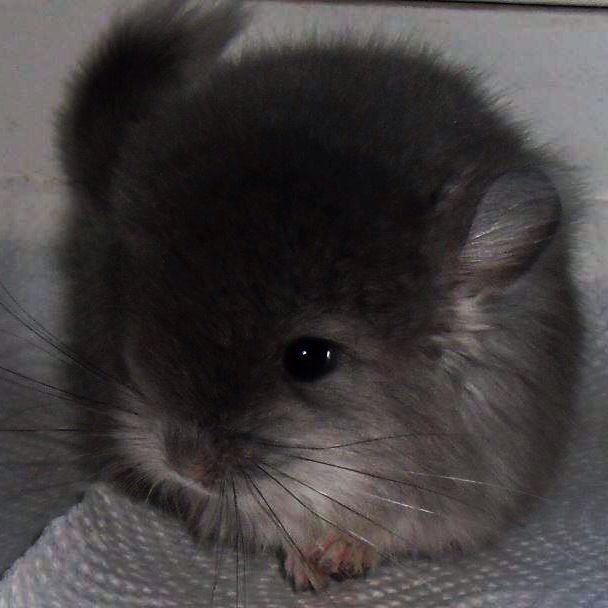 Chinchilla care - photo#34