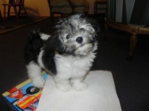 96 best images about small dogs on pinterest poodles best dog breeds and sheds - Best dogs for small spaces pict ...