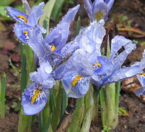 die besten 17 bilder zu zwergiris iris reticulata auf pinterest g rten gartenbau und blume. Black Bedroom Furniture Sets. Home Design Ideas