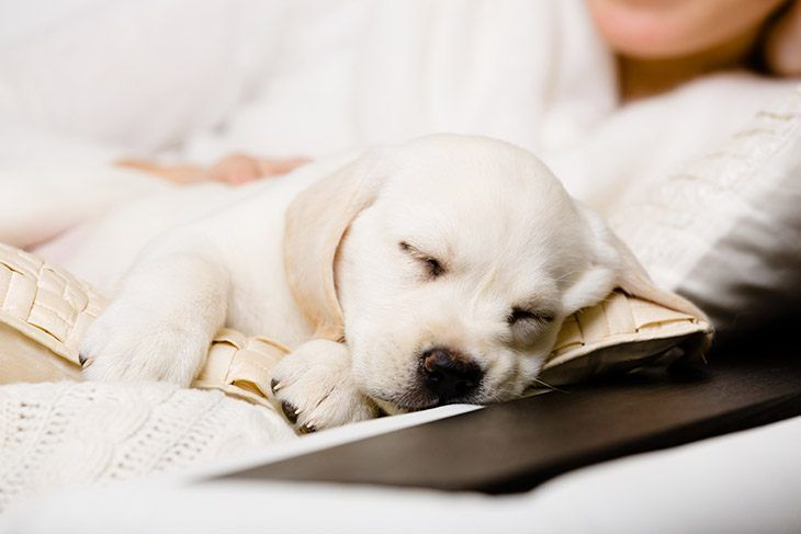 How Much Do Puppies Sleep At 8 Weeks Sleeping Puppies Puppies Beloved Dog