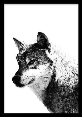Wolf black and white, poster Poster med ulv. Sort-hvid plakat med en ulv. Et kraftfuldt motiv, som skaber følelser i rummer. Vi har flere smukke dyremotiver.
