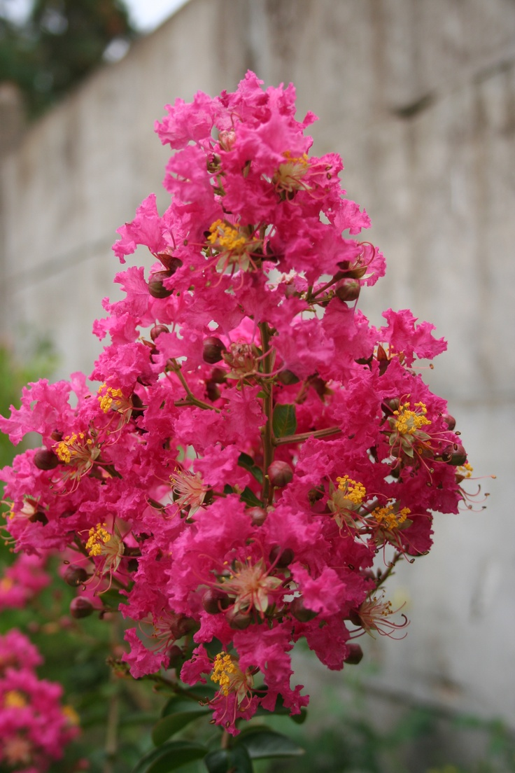 Lagerstroemia indica is plant of the week 34. A Chinese native now grown throughout the world (where the climate is kind enough). The Crape Myrtle  is a large shrub or small tree with spectacular flowers. We have bought several plants over the years and once they get past that challenging first winter they seem to go from strength to strength.  In 2009 we bought the variety Dynamite which has survived a winter at minus 29 C and tempertures now in the high thirties.