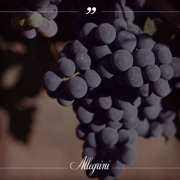 Molinara grapes, Their name means mill and their fruit looks like it is dusted with flour.