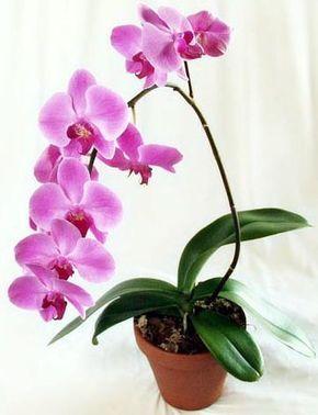 Как ухаживать за орхидеей .