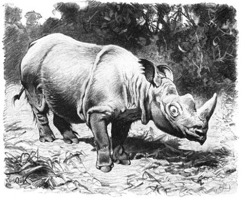 Sumatran Rhinoceros: The Sumatran Rhinoceros has been declared as one of the extinct animal in India. The sumatran rhinoceros is the smallest rhinoceros with two horns and only extant species of the genus Dicerorhinus. The extinct sumatran rhinoceros,once roamed and inhabited rainforests of India and neighbor north east Asian countries. They are now critically endangered species and estimated to number fewer than 275 only and found in neighbor countries of India.