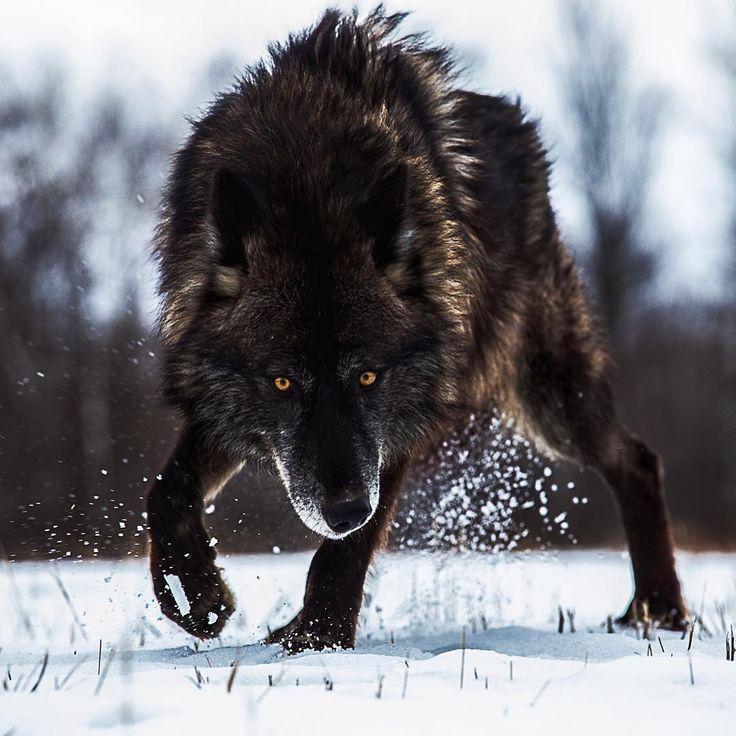 украсьте фигурами фото волков злых красивых актай
