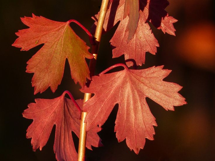 https://flic.kr/p/pfKggz   Imitation Maple Leaves   We don't have the glorious Maple leaves that some parts of Canada have, that turn a rich red in the fall.  Our fall colours are mainly yellow with an occasional splash of orange.  There are two species here that I sometimes see that remind me of what we are missing - wild Gooseberry and the plant/shrub that is in this photo.  I'm not sure what it is, but perhaps some kind of currant bush?  Just a quick shot, taken on 20 September 2014, when…
