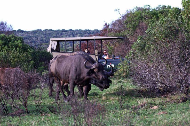 Buffalo seen on a game drive at Boma dinner at Sibuya Game Reserve #KentononSea #EasternCape #SouthAfrica www.sibuya.co.za