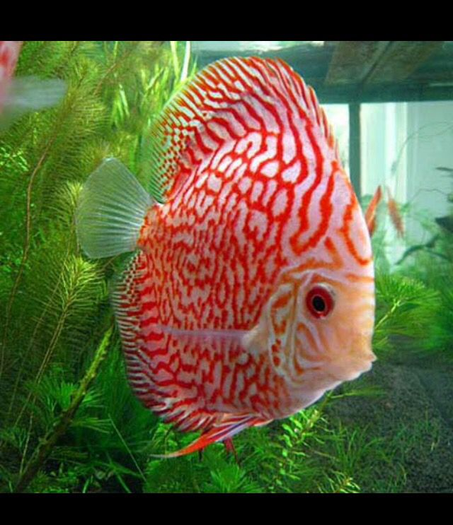 Fish Plus Panosundaki Pin