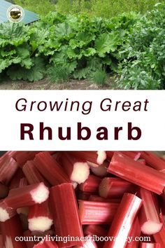 Grow Rhubarb in your garden - two plants is enough for a family! Perennial Rhubarb is great for sauces, pies and other baking.
