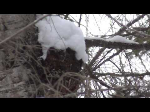 Зимняя тайга. Сибирь. Веники в баню из можжевельника.