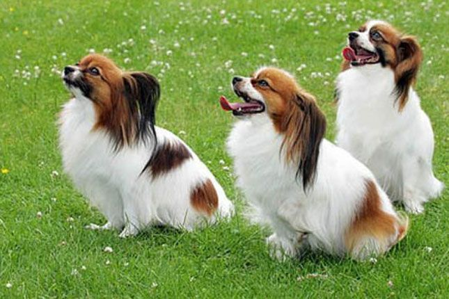 papillion dog | Home / Dog Breeds / Puppies For Sale / Papillon Puppies & Breed ...
