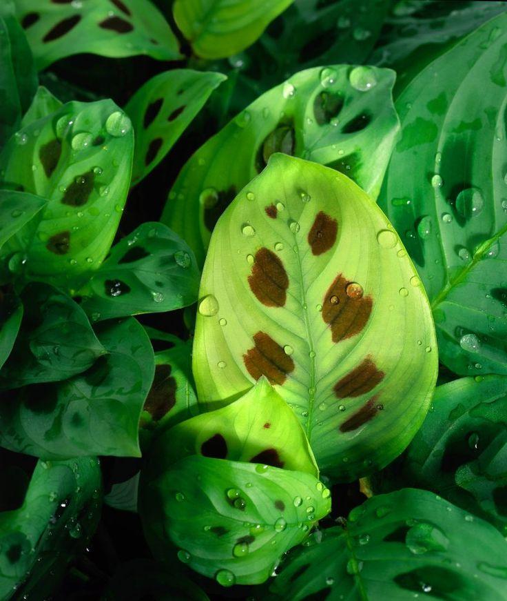 Piante da interno, piante da camera da letto: Maranta