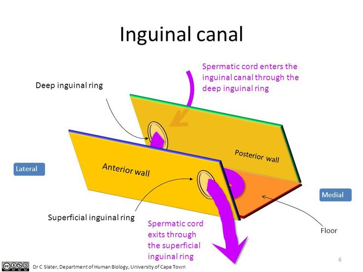 Inguinal Canal Diagram Depicting - Trusted Wiring Diagram •