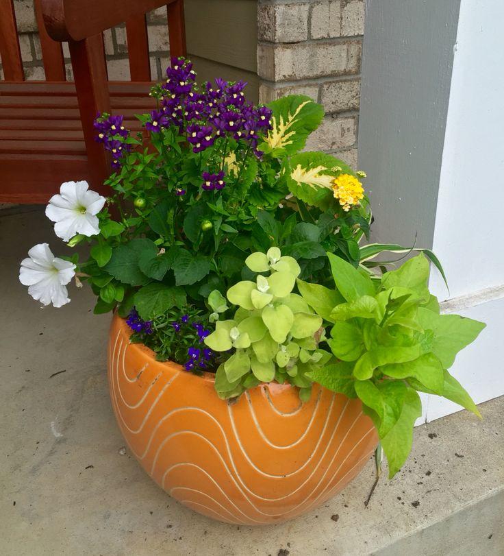 Container garden : Petunia, potato vine, coleus