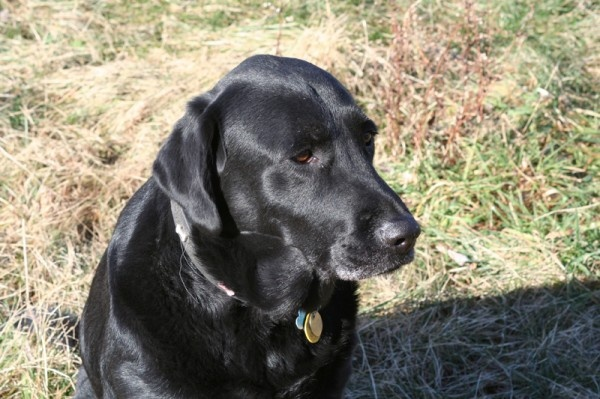 A Black Labrador Named Zeus That Is 9 1 2 Years Old