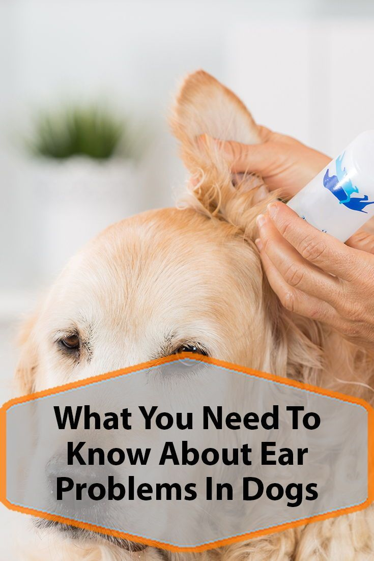Common Ear Problems In Dogs Ear Problems In Dogs Dogs Dog